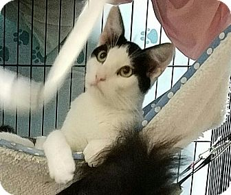 Domestic Shorthair Cat for adoption in Fallbrook, California - Rosie