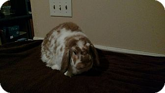 Lop-Eared Mix for adoption in South Bend, Indiana - Millie