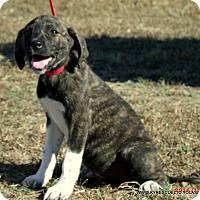 Adopt A Pet :: Lily - parissipany, NJ