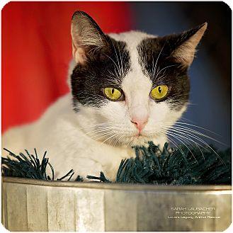 Domestic Shorthair Cat for adoption in Cincinnati, Ohio - Lexus- WAIVED FEE