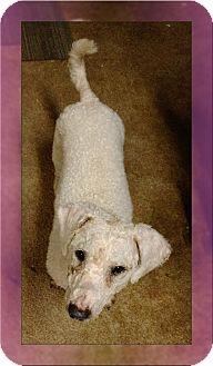 Bichon Frise Dog for adoption in Tulsa, Oklahoma - Sadie - IN