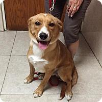 Labrador Retriever/Collie Mix Dog for adoption in Del Rio, Texas - Clyde