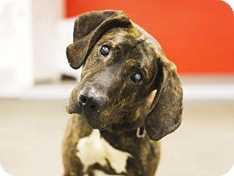 Plott Hound Dog for adoption in Boston, Massachusetts - HAMMER