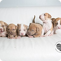Adopt A Pet :: Sienna  Litter 6 - Inglewood, CA
