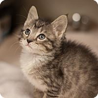 Adopt A Pet :: Olivia Newton John - Dallas, TX