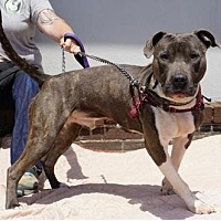 Pit Bull Terrier Mix Dog for adoption in Mt Vernon, New York - King