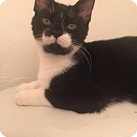 Domestic Shorthair Kitten for adoption in Gainesville, Florida - Nagini