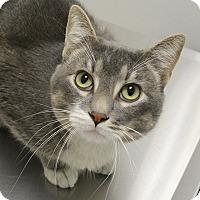 Adopt A Pet :: Captain - Springfield, IL