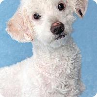 Adopt A Pet :: Boots - Encinitas, CA