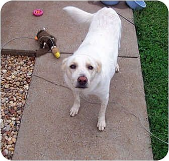 Labrador Retriever Mix Dog for adoption in Clarksville, Tennessee - Lucky