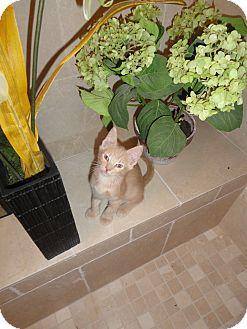 Domestic Shorthair Kitten for adoption in Phoenix, Arizona - CONRAD
