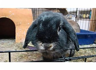 Lop, Holland Mix for adoption in Williston, Florida - Daisy & Olivia