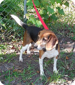 Beagle Dog for adoption in Ormond Beach, Florida - Lucy