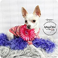 Adopt A Pet :: Snow - Shawnee Mission, KS