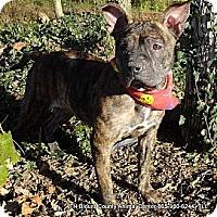 Adopt A Pet :: Sheva - Hop Bottom, PA