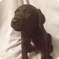 Adopt A Pet :: Dean - Leesburg, VA