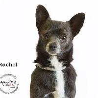 Adopt A Pet :: Rachel - Phoenix, AZ