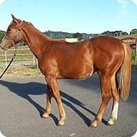 Thoroughbred/Quarterhorse Mix for adoption in Santa R0sa, California - Sawyer