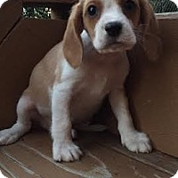 Adopt A Pet :: Maverick - Algonquin, IL