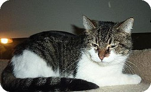 Domestic Shorthair Cat for adoption in Phoenix, Arizona - Cookie