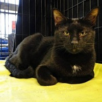 Oriental Cat for adoption in Brooksville, Florida - Bobby