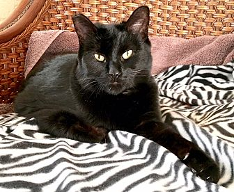 Domestic Shorthair Cat for adoption in Tucson, Arizona - Wanda The Wonder(ful) Cat