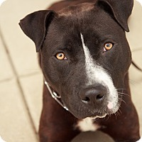 Adopt A Pet :: Dom - Reisterstown, MD