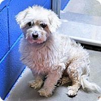 Adopt A Pet :: Shih Tzu/Poodle male X - San Jacinto, CA