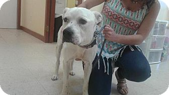 Pit Bull Terrier Mix Dog for adoption in Fayetteville, West Virginia - Blazer