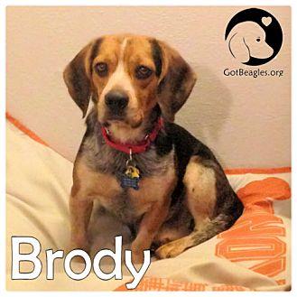 Beagle Dog for adoption in Novi, Michigan - Brody