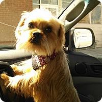 Yorkie, Yorkshire Terrier/Shih Tzu Mix Puppy for adoption in E. Wentachee, Washington - Gator