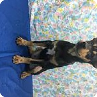 Shepherd (Unknown Type) Mix Dog for adoption in Chichester, New Hampshire - Sampson--in NH!