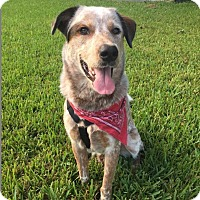 Cattle Dog Mix Dog for adoption in Enfield, Connecticut - Walton