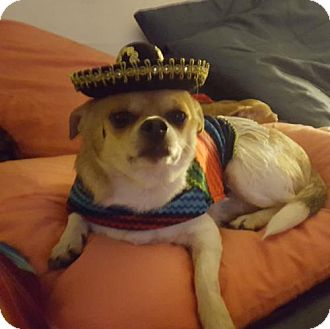Chihuahua Dog for adoption in Island Heights, New Jersey - Bosco
