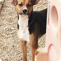 Adopt A Pet :: Ramzi - Hudson, NH