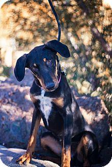 Saluki/Shepherd (Unknown Type) Mix Dog for adoption in Granada Hills, California - Dinah
