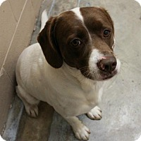 Adopt A Pet :: Pinto - Hilton Head, SC