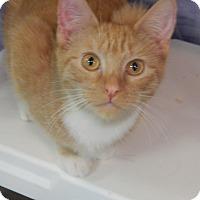 Domestic Shorthair Kitten for adoption in Holden, Missouri - Butterscotch