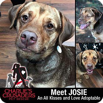 Rottweiler/Boxer Mix Dog for adoption in Spring City, Pennsylvania - Josie