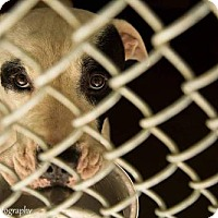 American Bulldog Mix Dog for adoption in Clarkesville, Georgia - Ranchero