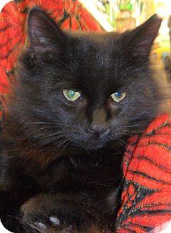 Domestic Longhair Cat for adoption in Kalamazoo, Michigan - Pooky