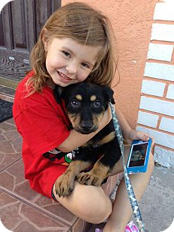 Rottweiler/Collie Mix Puppy for adoption in Miami, Florida - Scrappy