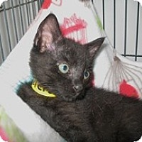 Adopt A Pet :: Velcro - Shelton, WA
