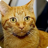 Adopt A Pet :: Garfield - Lombard, IL