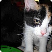 Adopt A Pet :: Callie Lou - Washington Terrace, UT