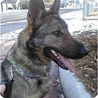 Adopt A Pet :: Sinoa - Hamilton, MT