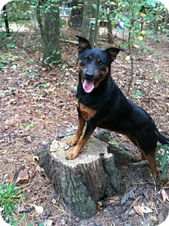 Jack Russell Terrier/Doberman Pinscher Mix Dog for adoption in Winnsboro, South Carolina - Jackie