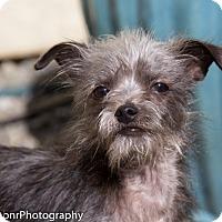 Adopt A Pet :: Irresistible Isaac - Vacaville, CA