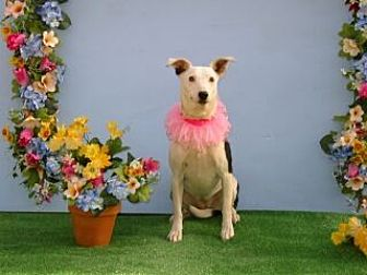 Bull Terrier/Whippet Mix Dog for adoption in Corona, California - Dee Dee