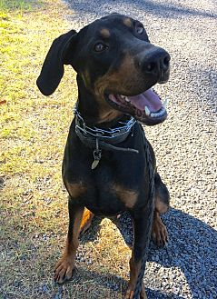 Doberman Pinscher Dog for adoption in Harrah, Oklahoma - Dobie